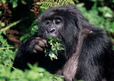 In primates, advanced dexterity may require a large brain